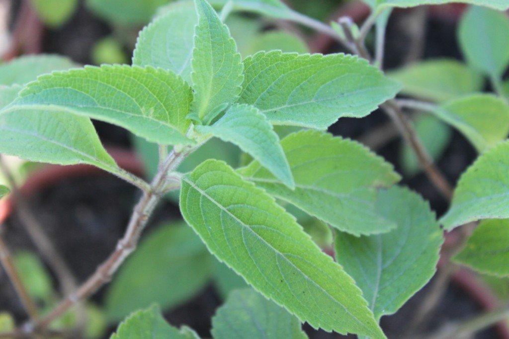Alfavaca (Ocimum gratissimum ) ©Sabor de Fazenda