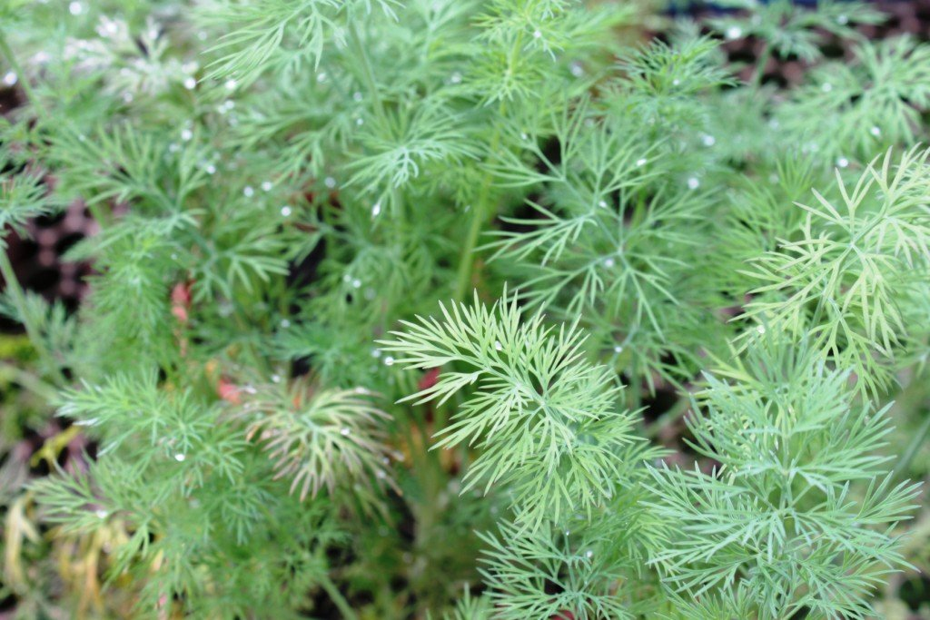 Endro (Anethum graveolens)
