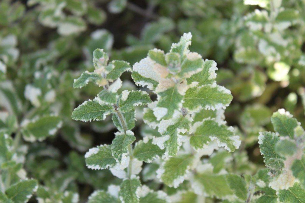 A rara hortelã variegata
