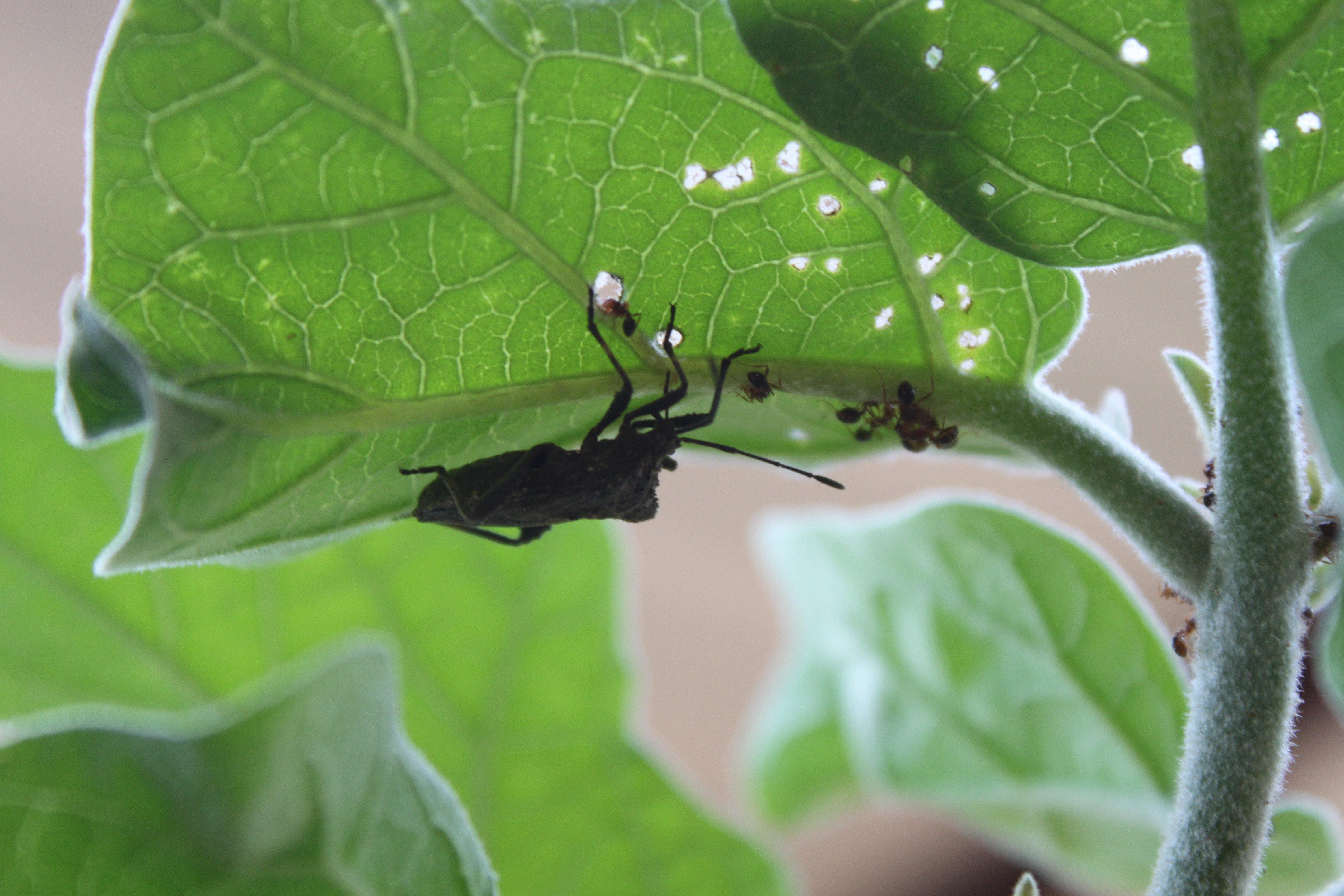 Percevejo e formigas no pé de berinjela ©Sabor de Fazenda