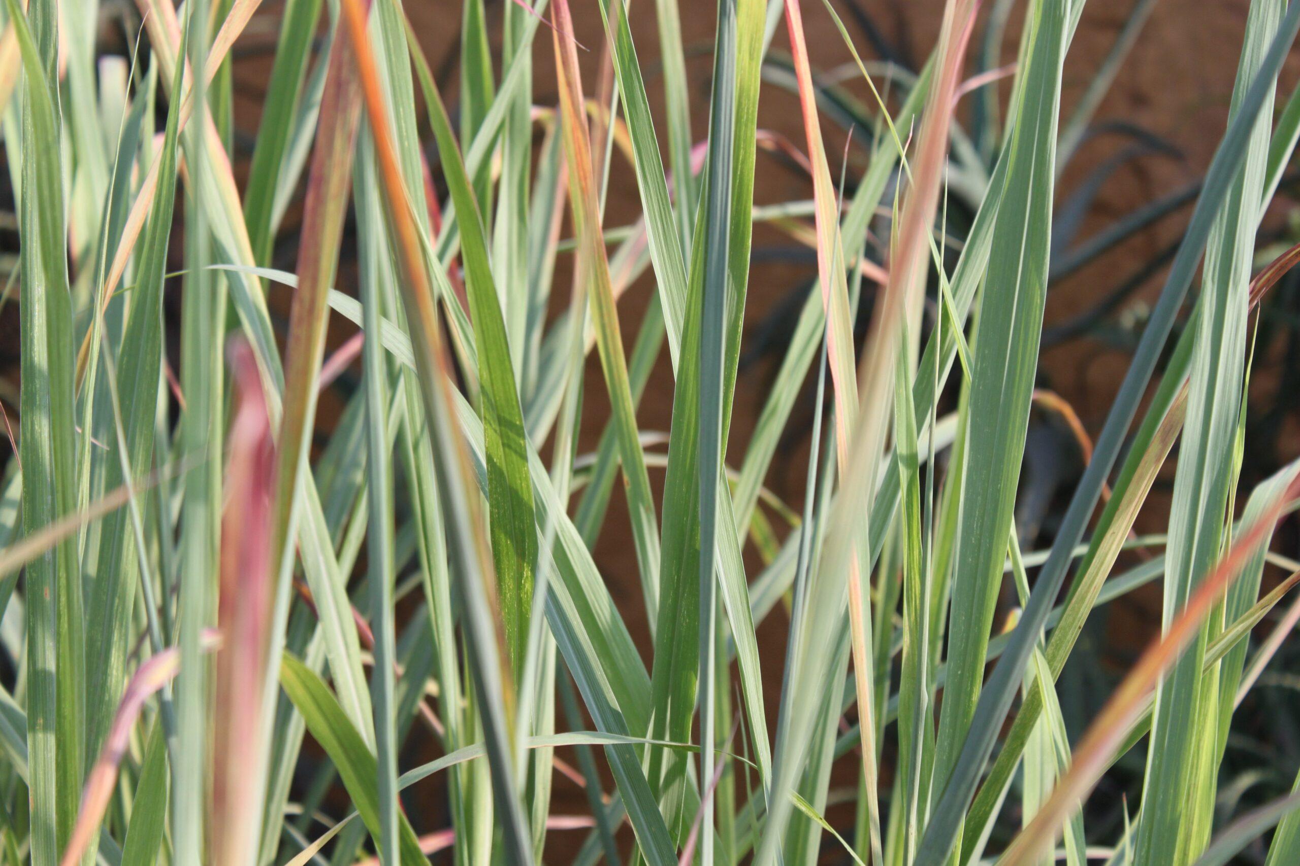 Erva-cidreira: o mesmo nome para diferentes plantas