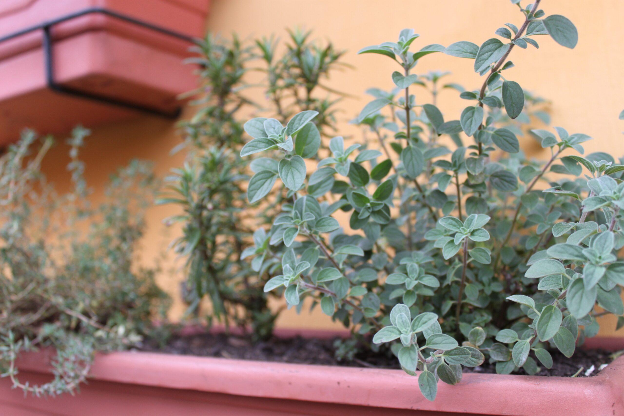 O que são plantas companheiras e antagônicas?