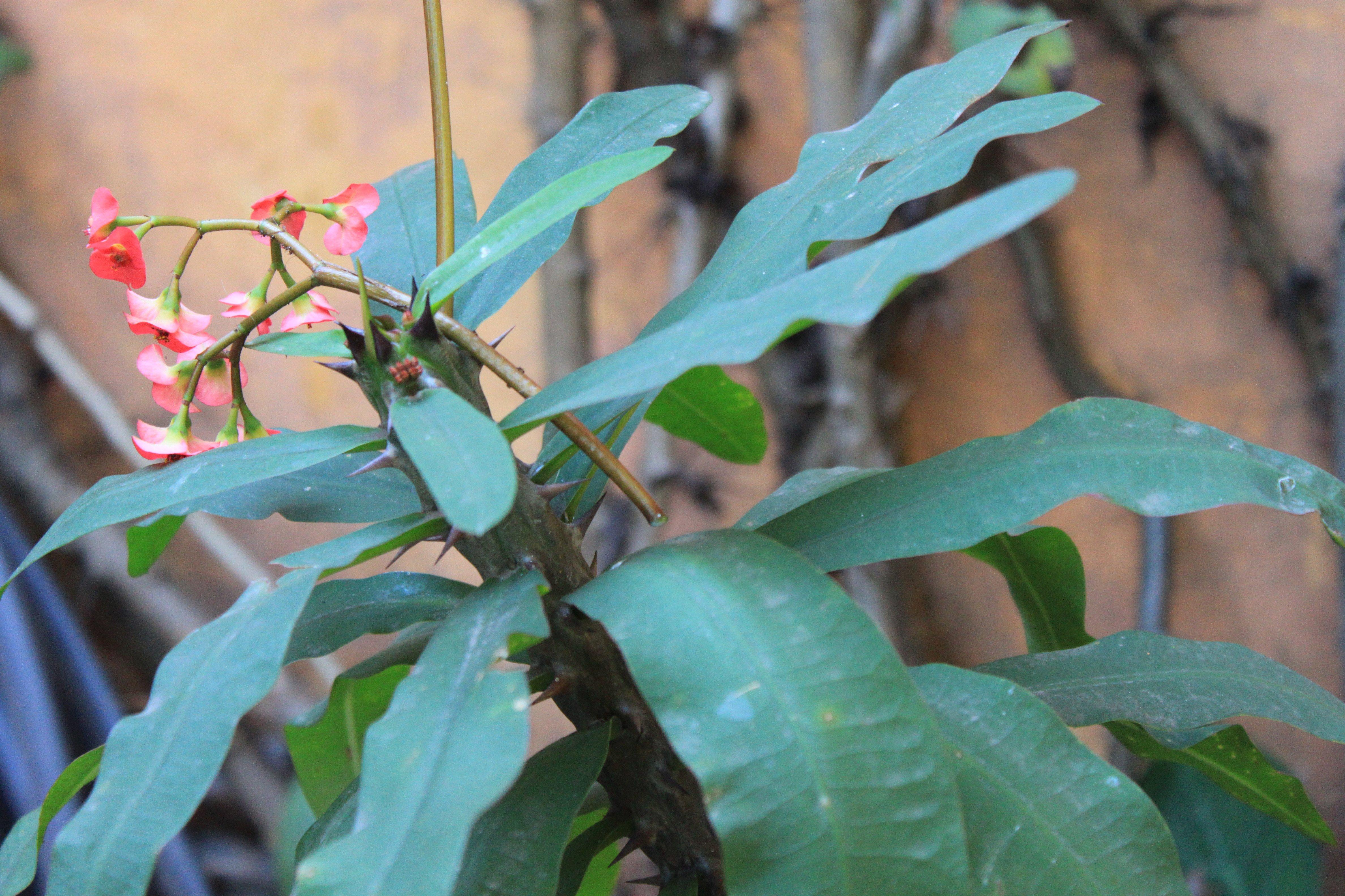 Coroa-de-espinho (Euphorbia milii)