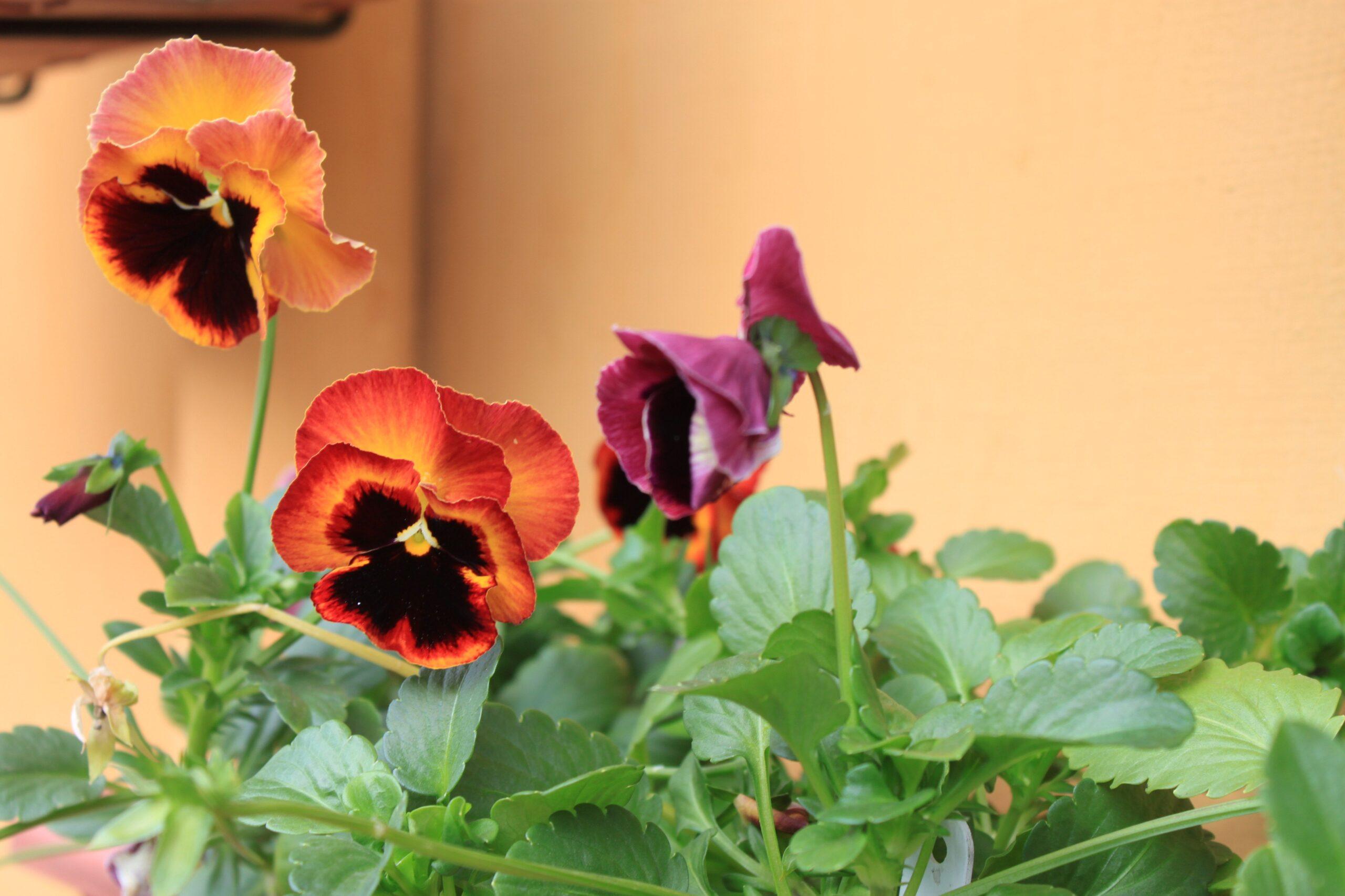 Quais as plantas ornamentais (não tóxicas) que podemos ter em casa tranquilamente?