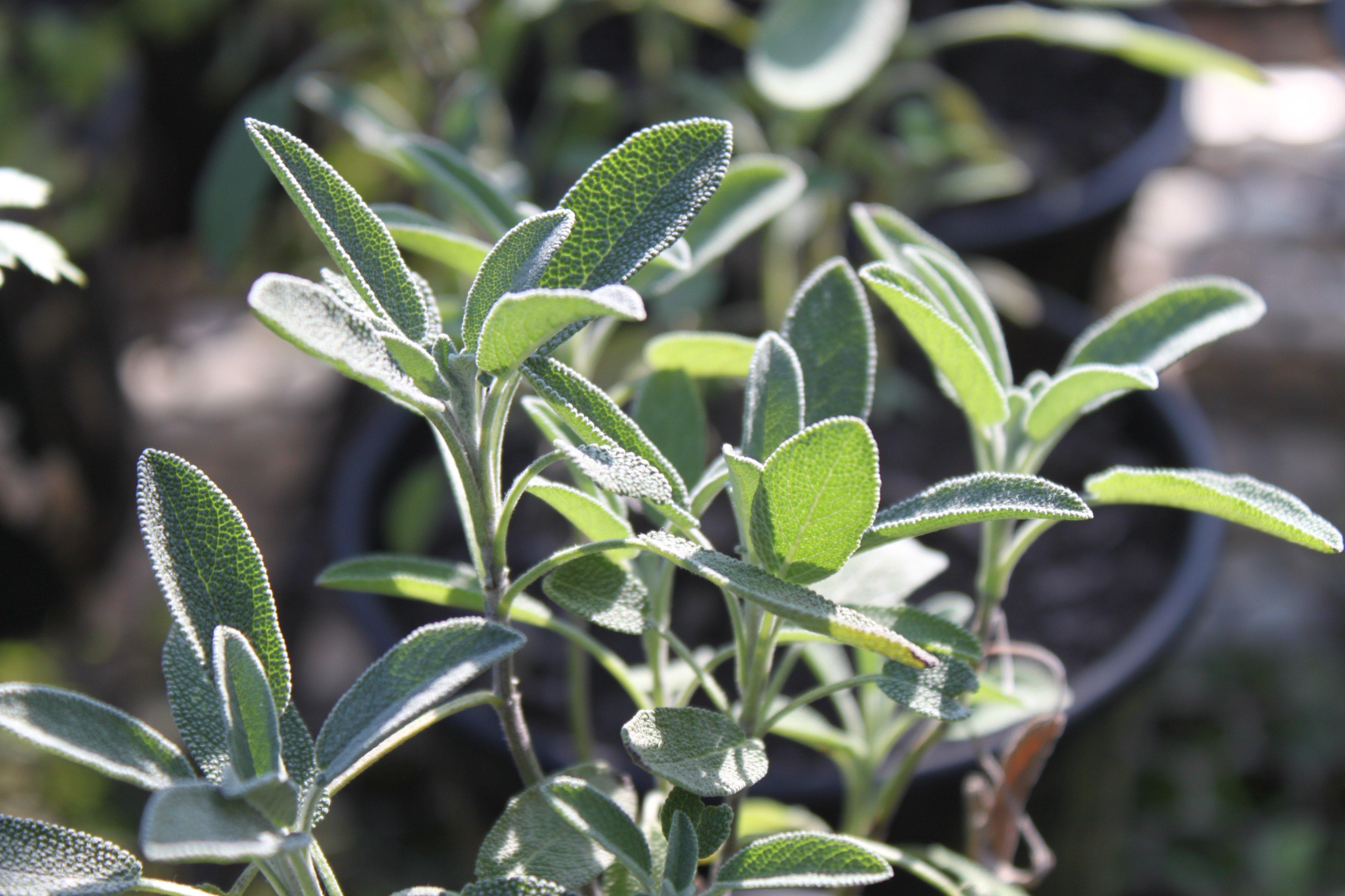 Salvia officinalis ©Sabor de Fazenda