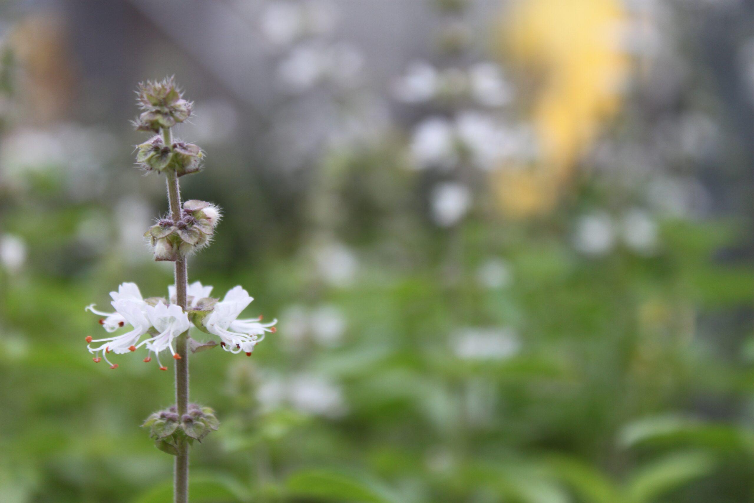 Nosso queridinho da horta: o manjericão