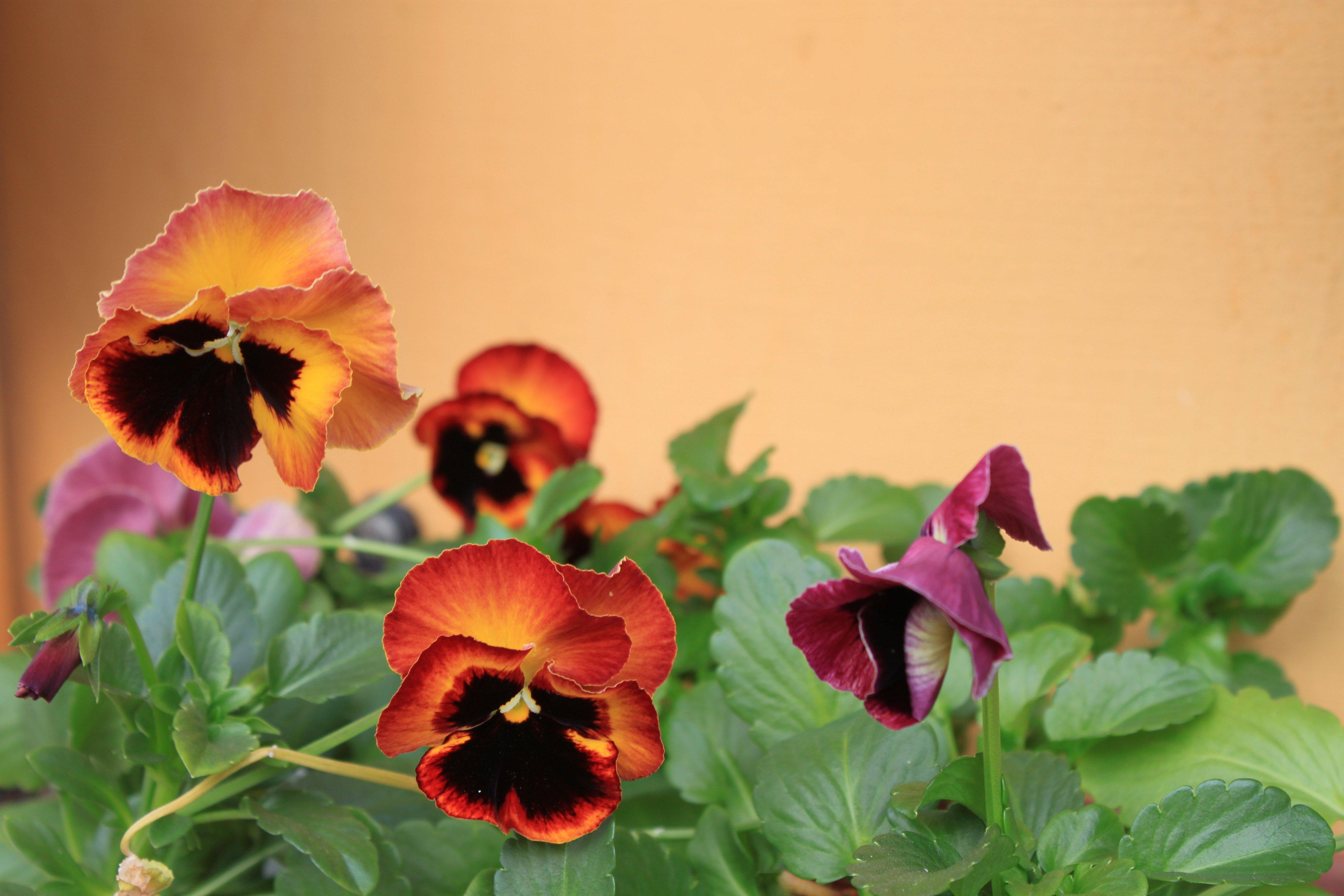 Amor- perfeito (Viola x wittrockiana) ©Sabor de Fazenda