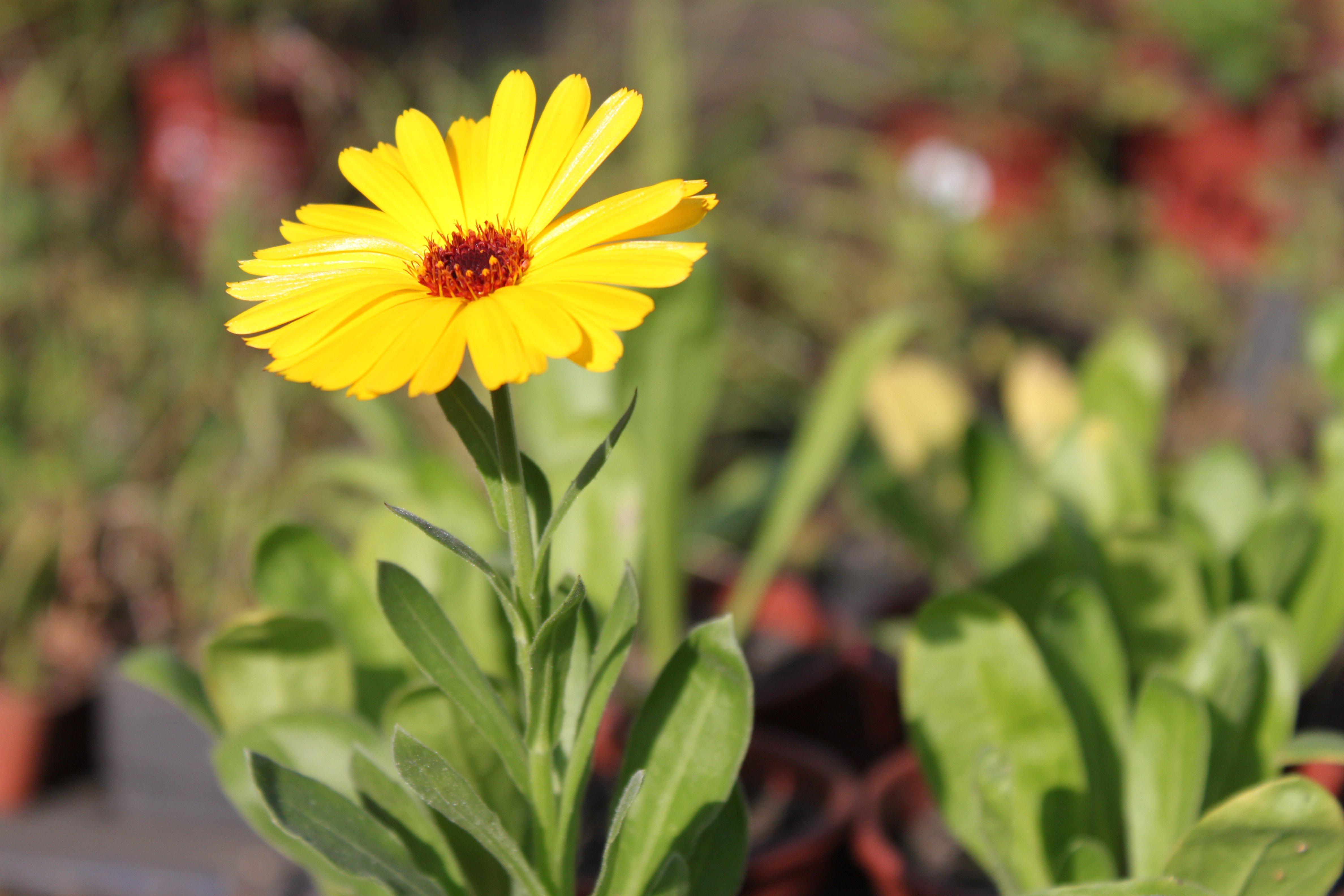 Calêndula (Calendula officinalis) ©Sabor de Fazenda