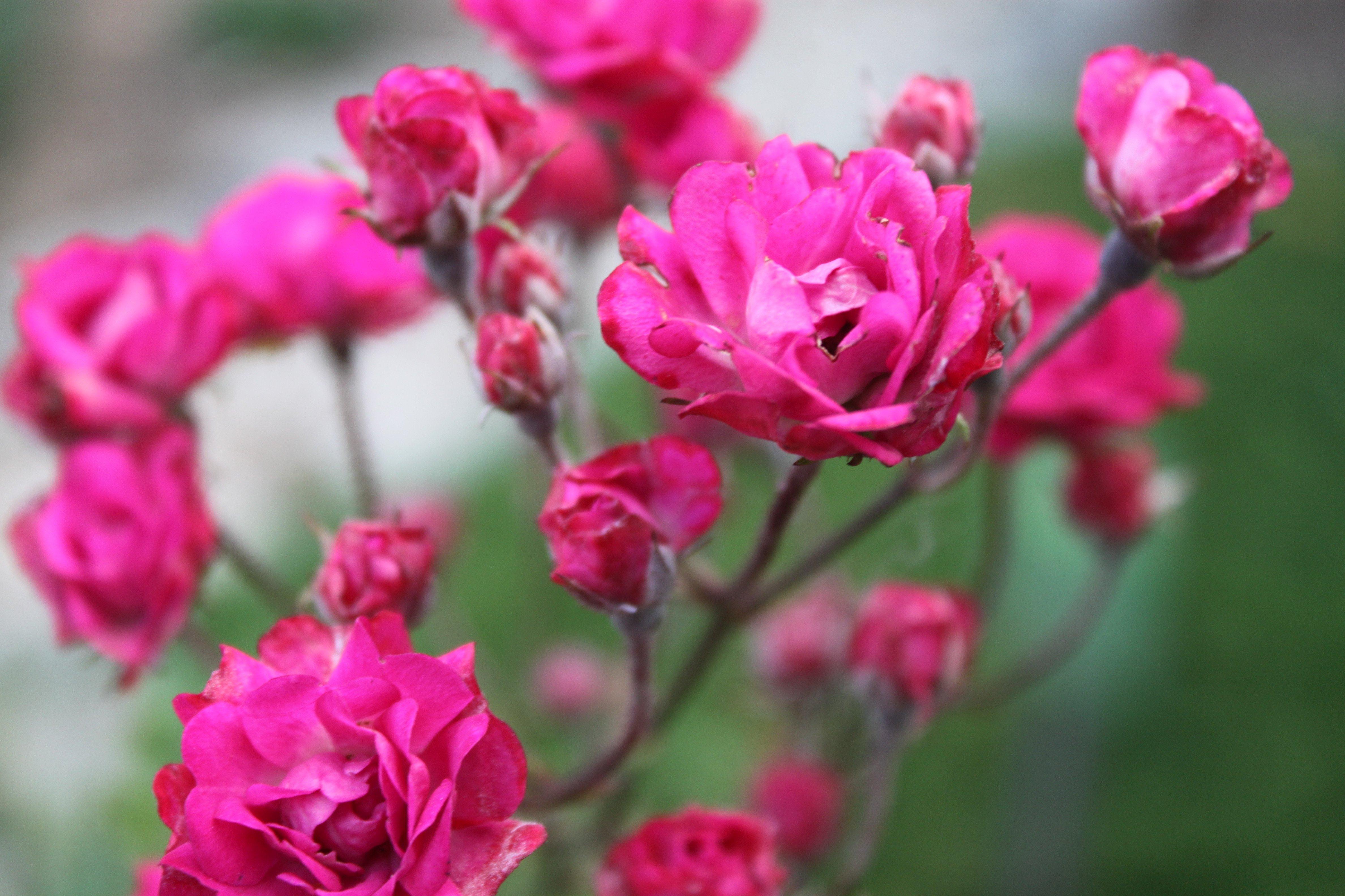 Mini-rosa (Rosa chinensis var. semperflorens) ©Sabor de Fazenda