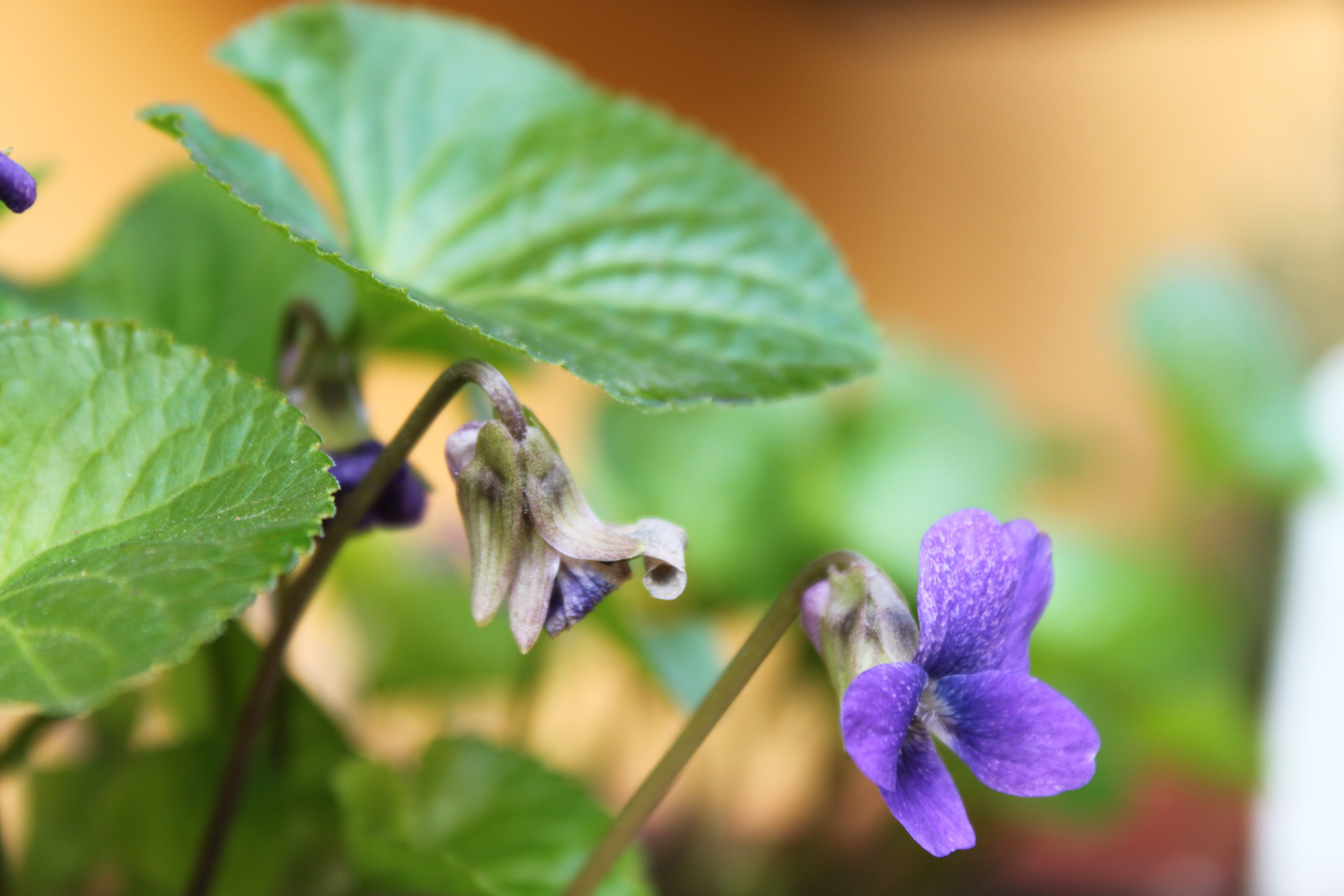 Violeta-perfumada (Viola odorata) ©Sabor de Fazenda