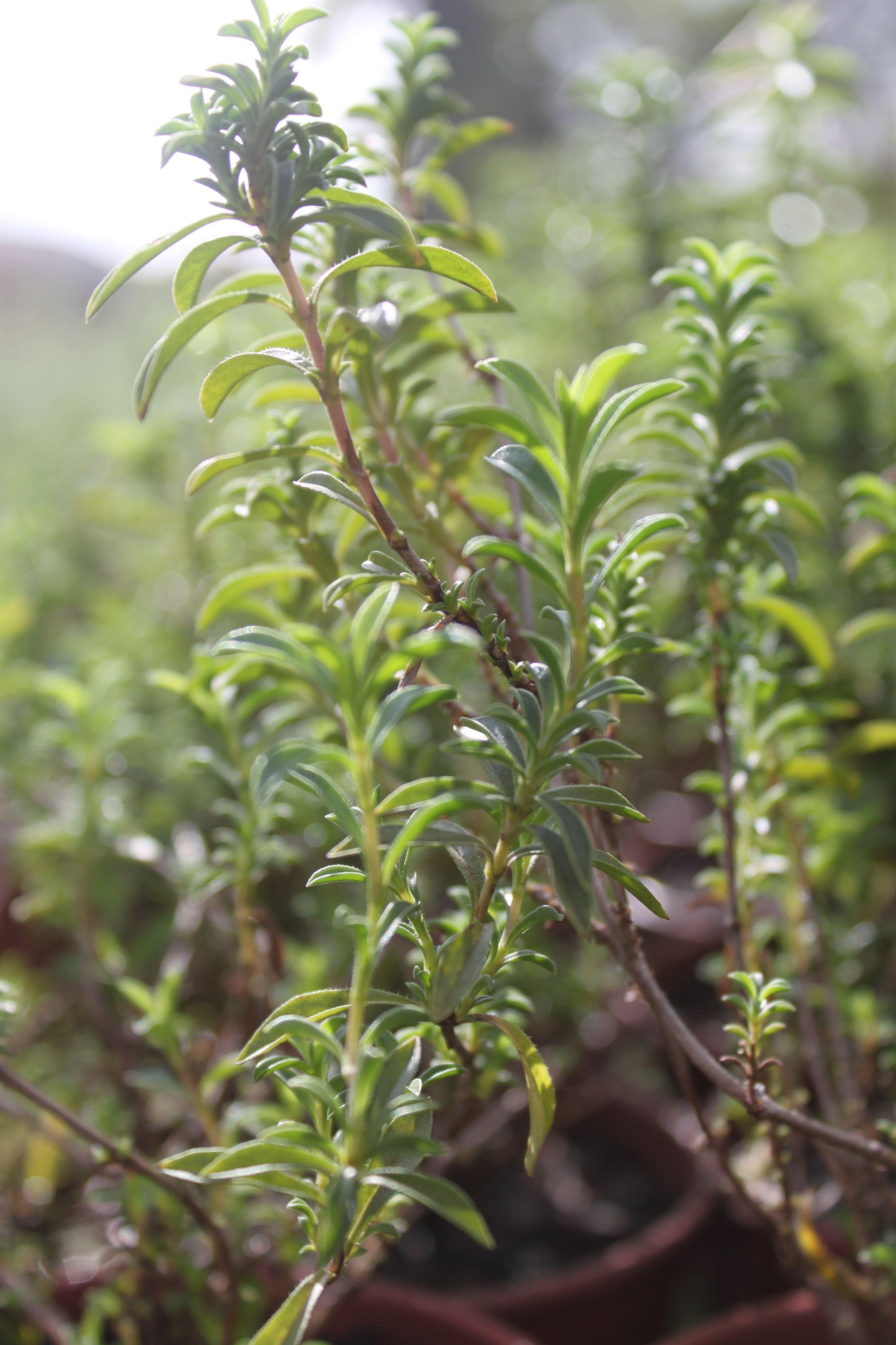 Segurelha (Satureja montana) ©Sabor de Fazenda