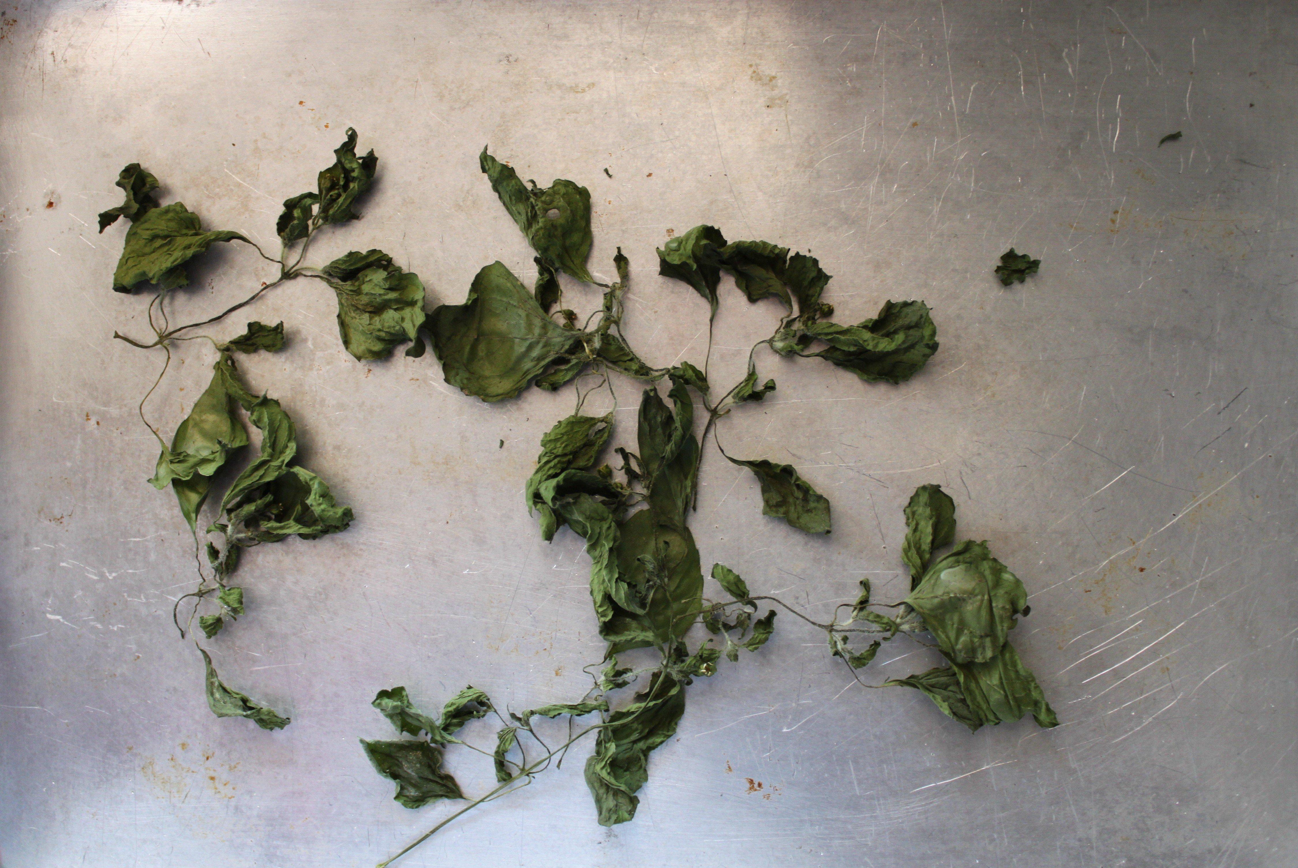 Secagem (Galinsoga parviflora) ©Sabor de Fazenda