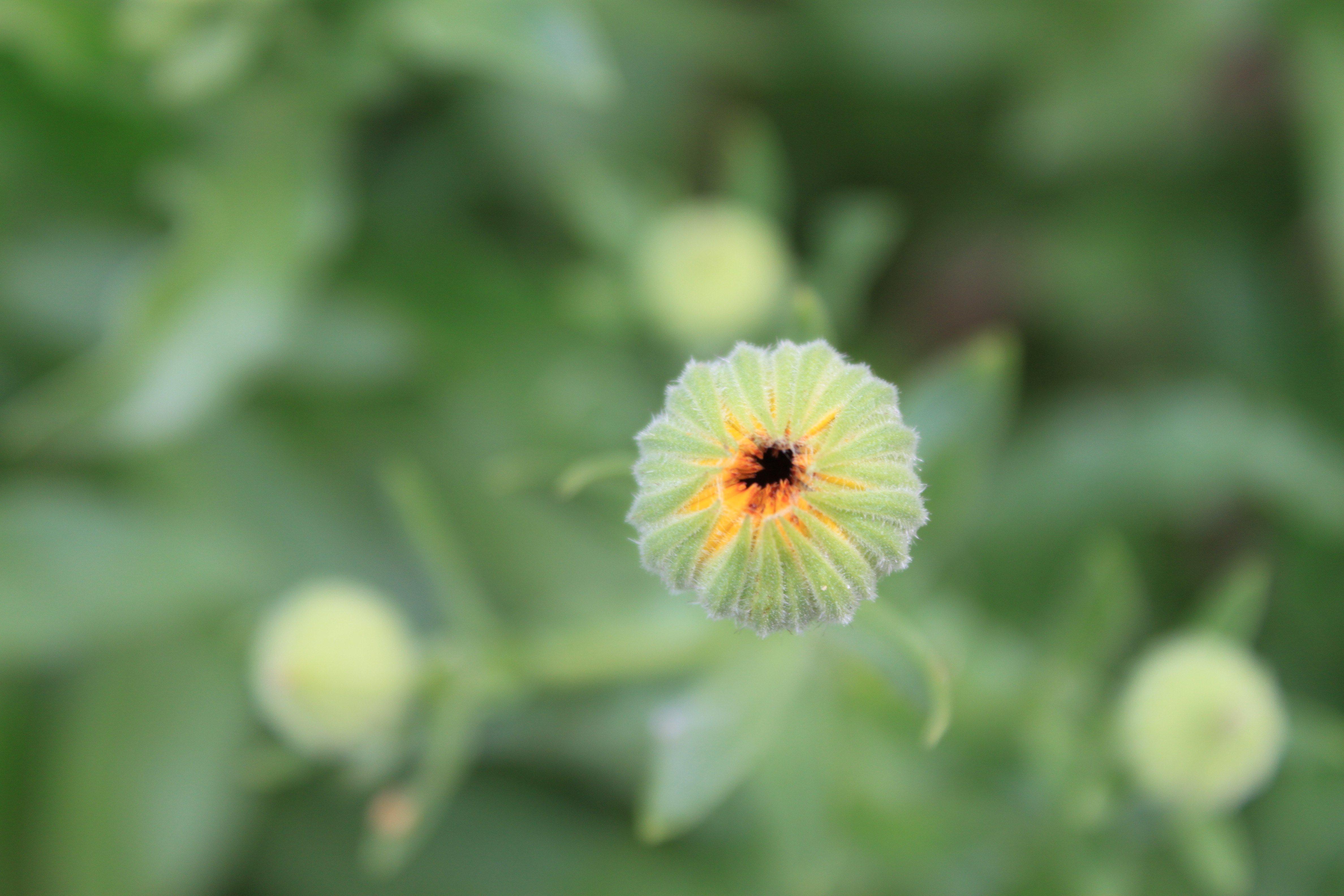 Brotinho da flor de calêndula ©Gabriela Pastro