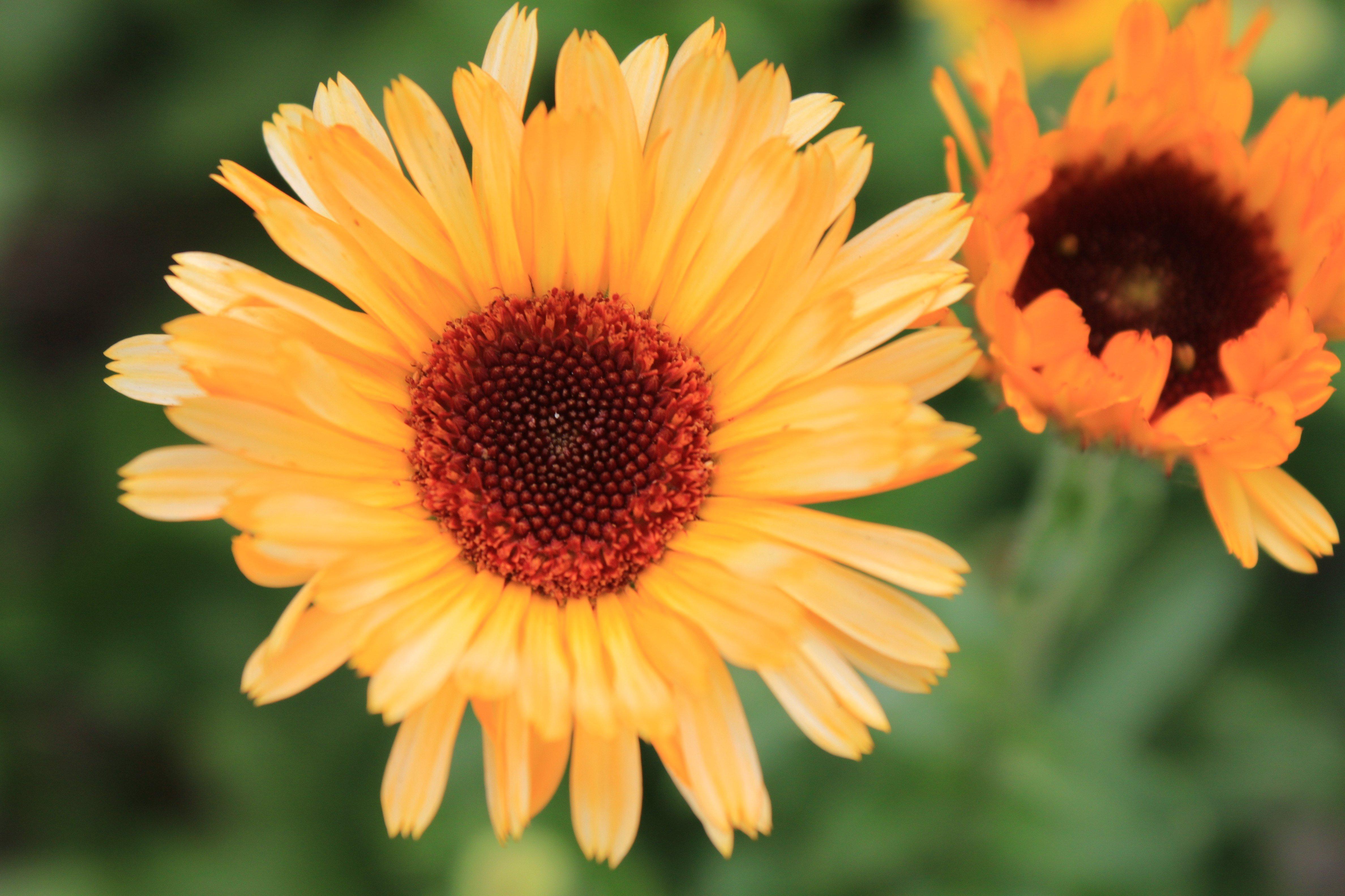 Flor de calêndula no seu auge de beleza ©Gabriela Pastro