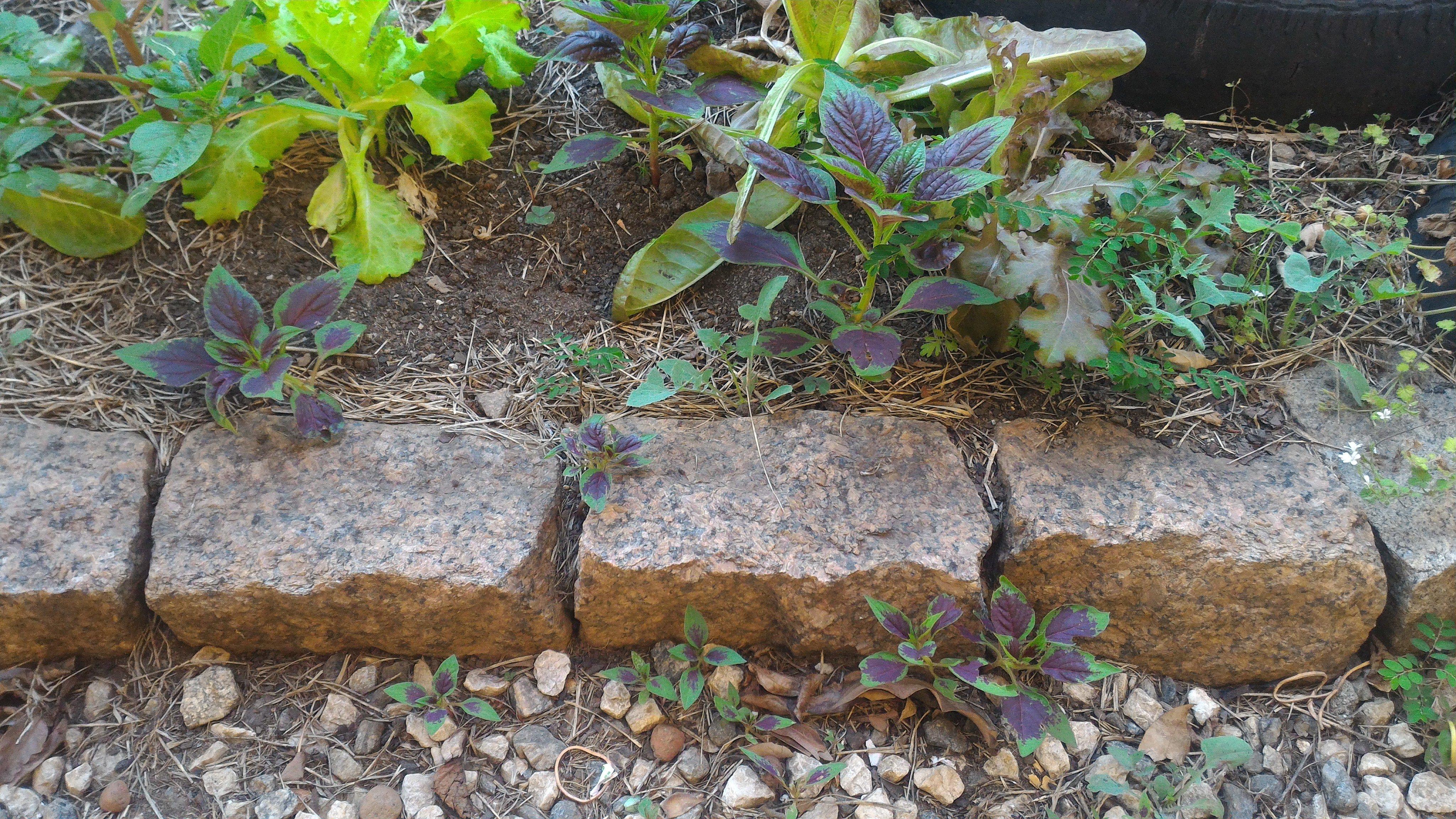 Crescimento espontâneo de <em>Celosia argentea</em> ©Sabor de Fazenda