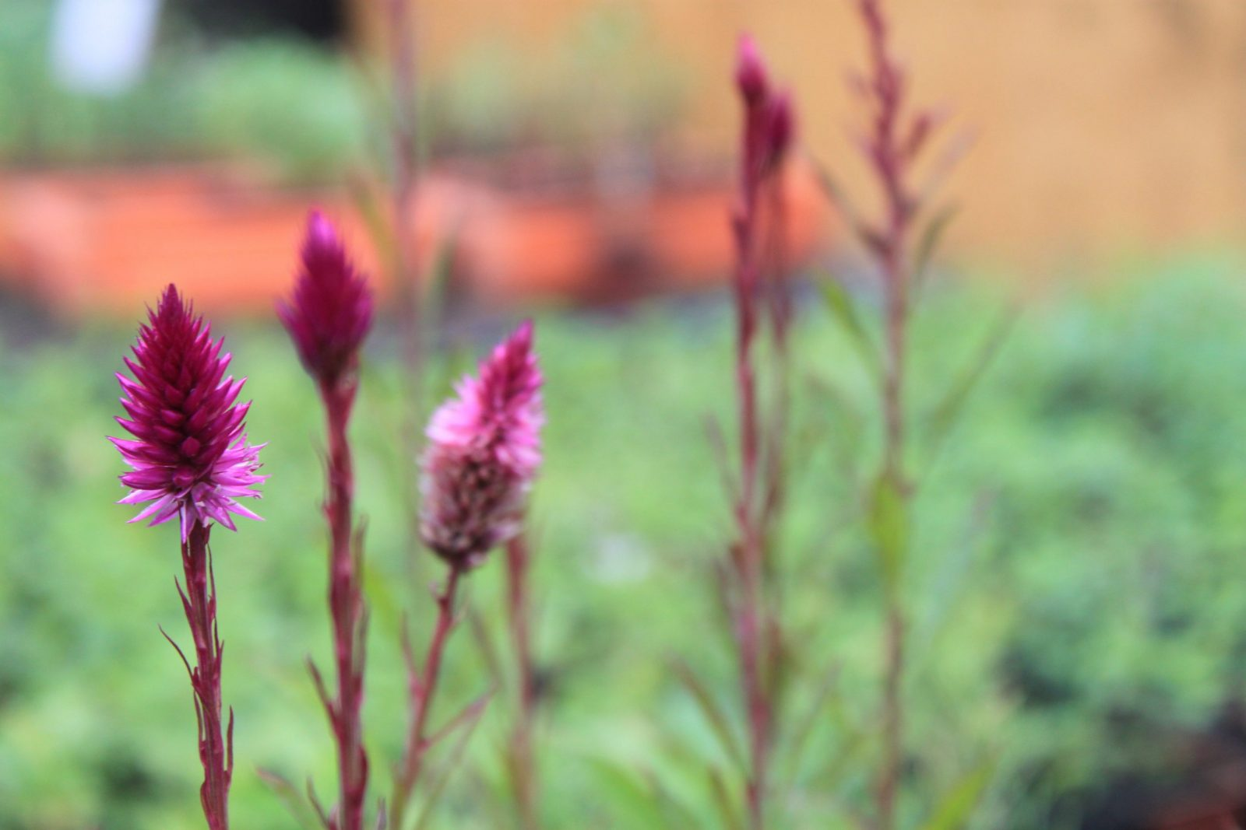 Agora é época de: celosia (Celosia argentea L.)