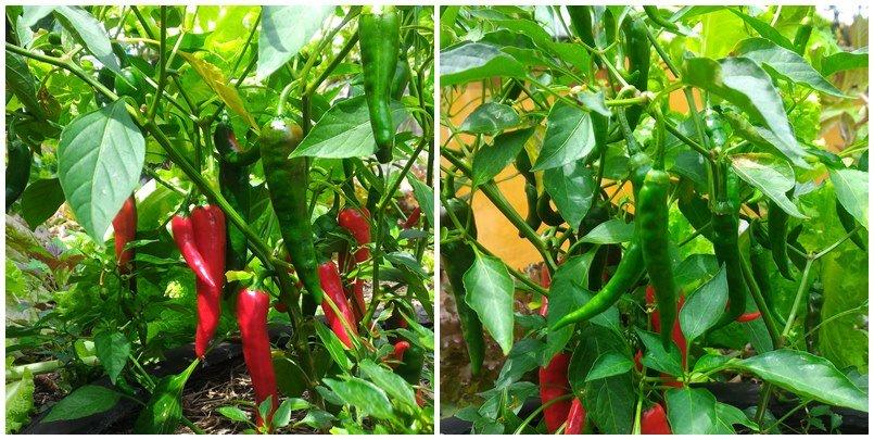 Diferentes frutos no pé de pimenta caiena ©Sabor de Fazenda