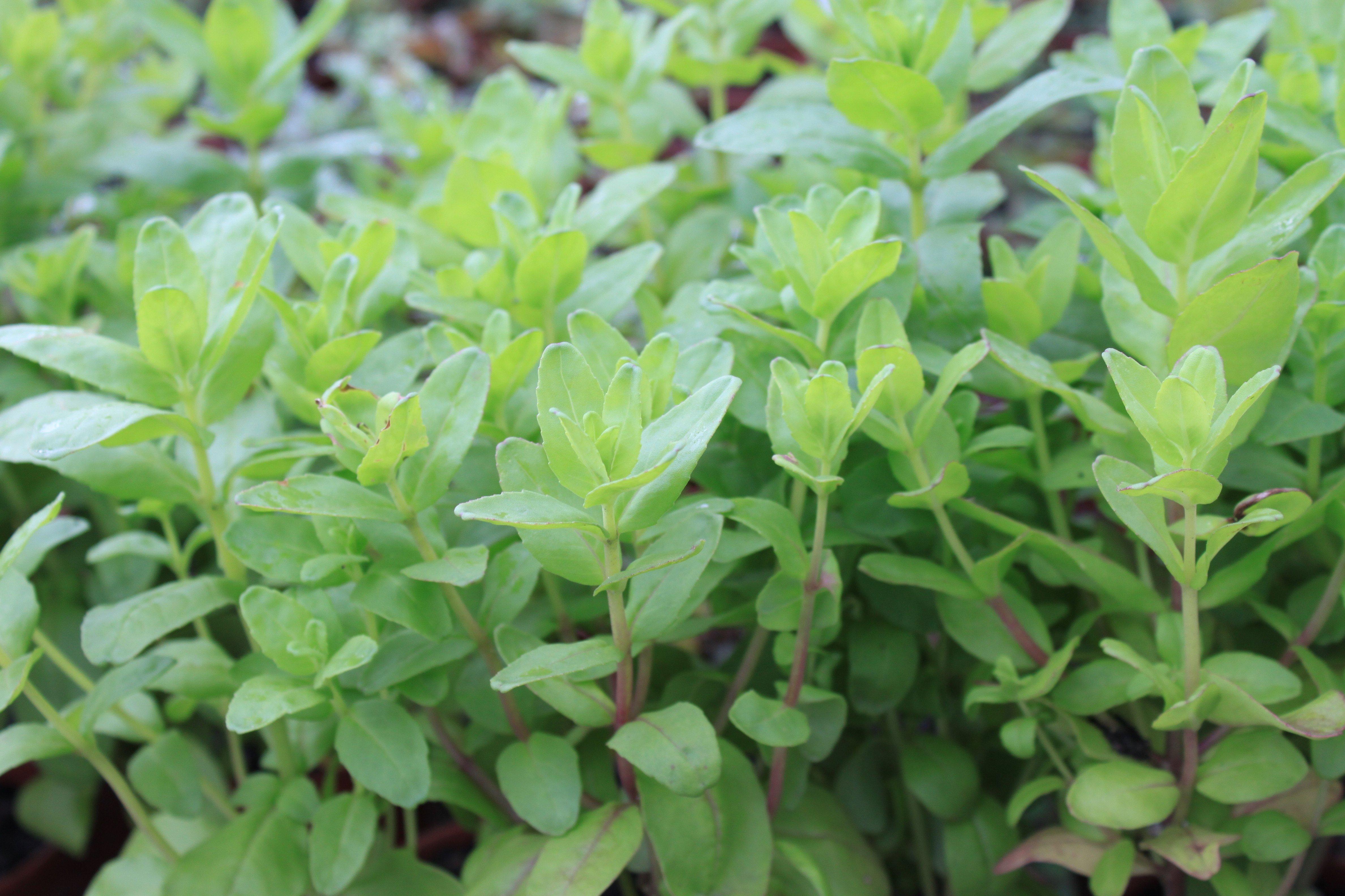 Macassá (Aeollanthus suaveolens) ©Sabor de Fazenda