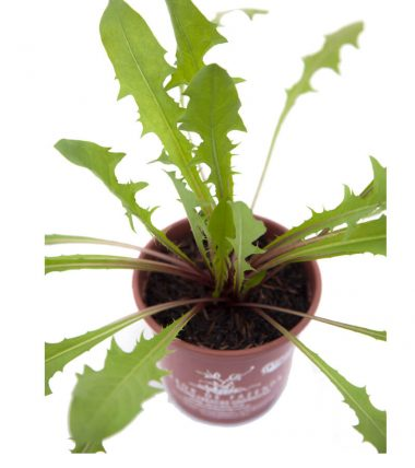 Dente de Leão<em>(Taraxacum officinale)</em>