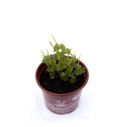 Erva Jabuti (<em>Peperomia pellucida</em>)