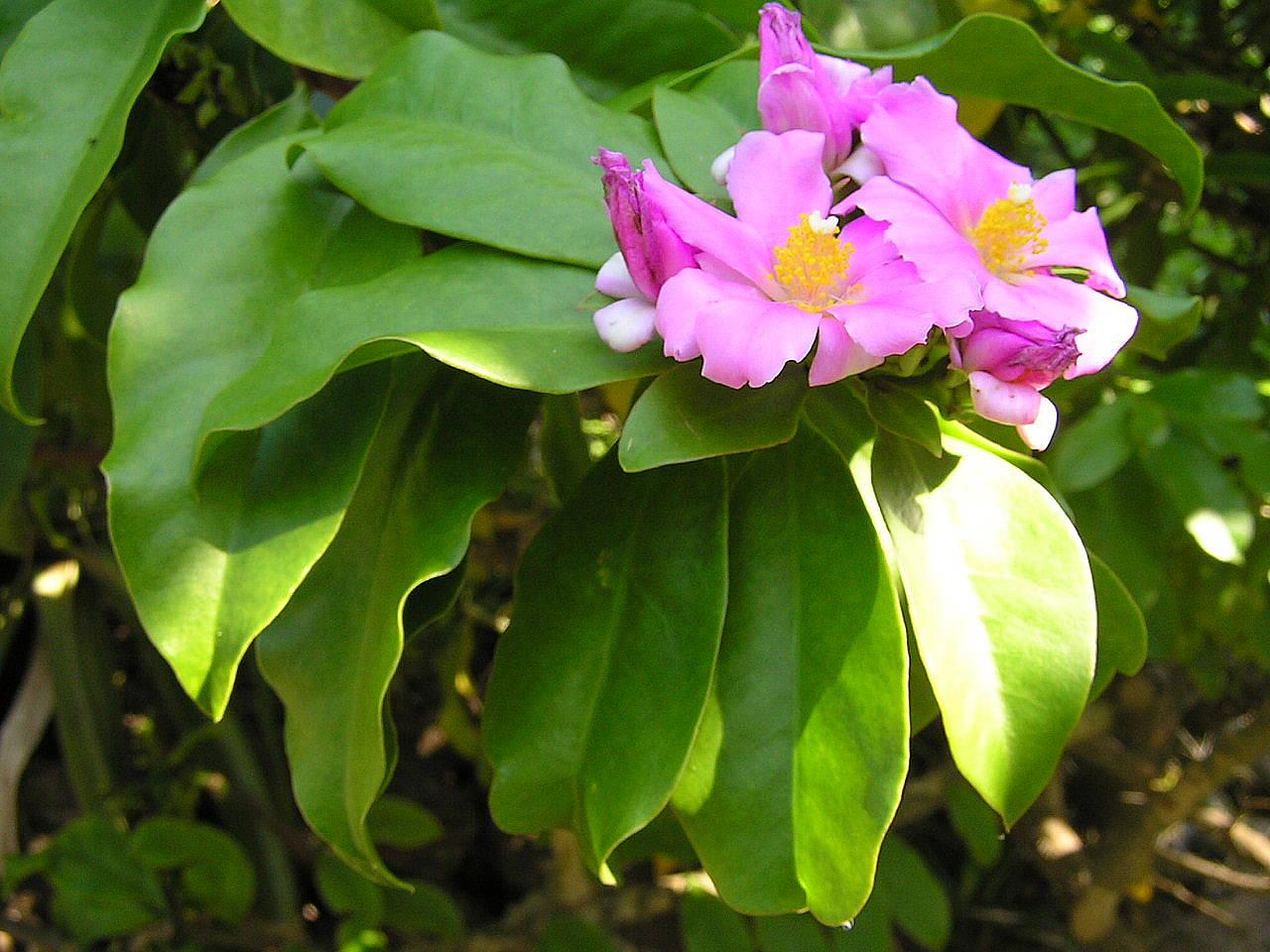 Ora-pro-nóbis da flor rosa